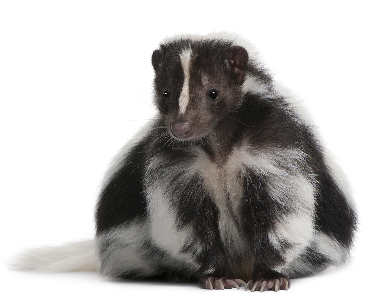 Get Rid Of Skunk On A Dog