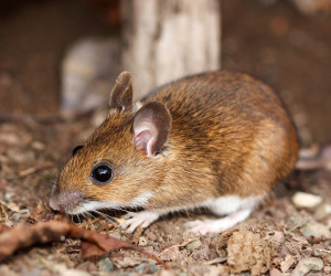 Deer Mouse Miller Pest Control