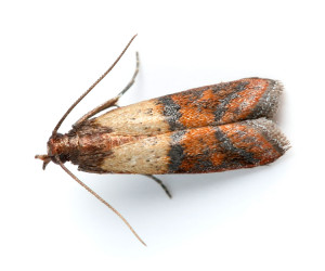 Indian Mealmoth