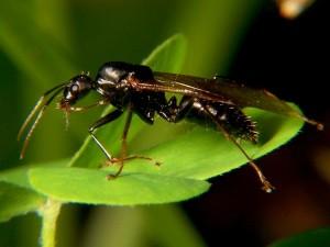 Carpenter_ant_drone_wiki