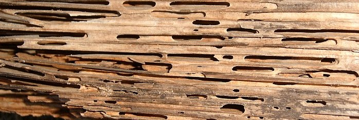 Carpenter Ants Damage